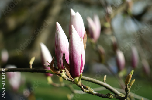 Fotobehang Magnolia Magnolia Buds Close-up