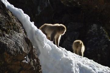 Makaken Affen in den japanischen Alpen