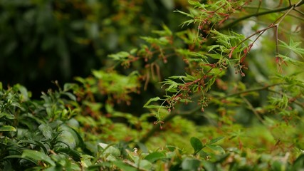 new leaves of a downy japanese maple in spring