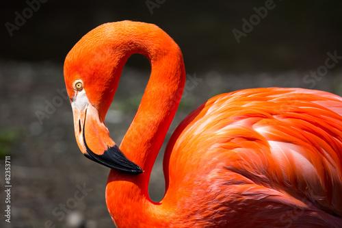Foto Spatwand Flamingo American Flamingo