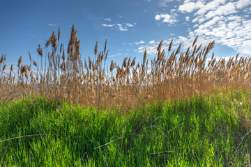 reeds on a sunny day
