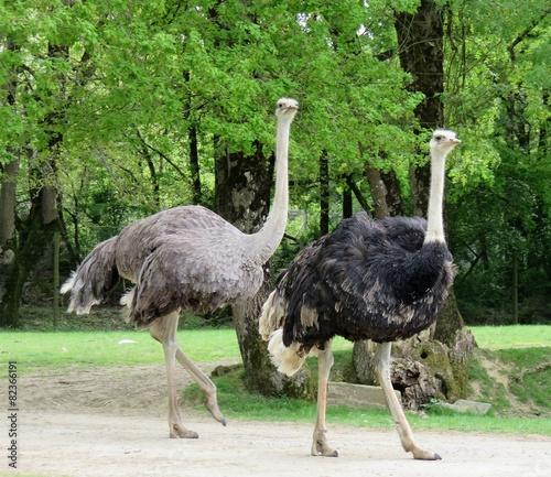 Staande foto Struisvogel autruche