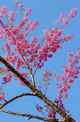 Branch of Pink Cherry Blossom Blooming.