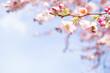 Leinwanddruck Bild - knospen vom kirschblüten