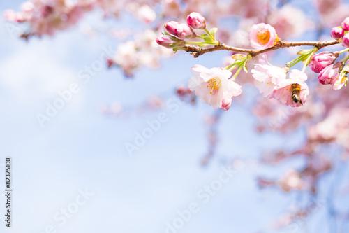 Leinwanddruck Bild knospen vom kirschblüten
