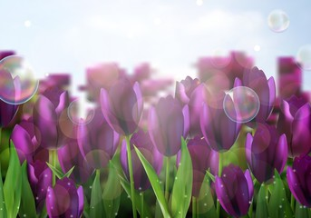 Purple Colored tulips flowers in the garden
