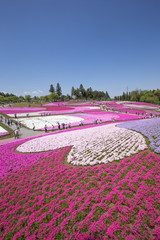 一面に咲く芝桜(埼玉 羊山公園)