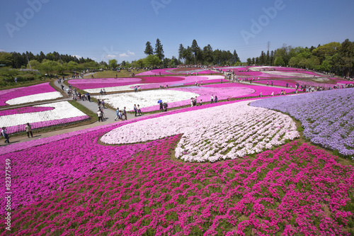 Foto op Plexiglas Kersen 一面に咲く芝桜(埼玉 羊山公園)