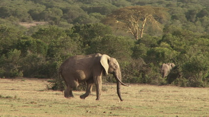 A tracking shot of a deformed elephant