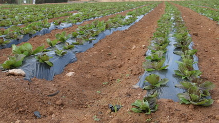 Salad plantation in southern Spain