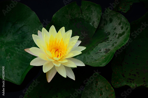 Foto op Aluminium Lotusbloem Yellow Lotus
