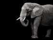Elephant isolated on black background - 82384398