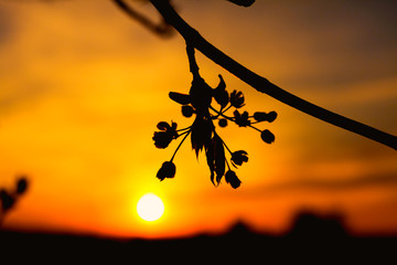 Spring tree flowers blossom at sunset