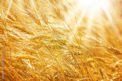 Getreidefeld, goldgelbe Ähren - 82386711