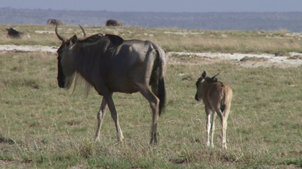 A limping mother wildebeest leading her baby away.