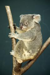 Portrait of male Koala bear