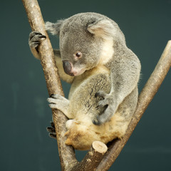 Portrait of male Koala bear sitting