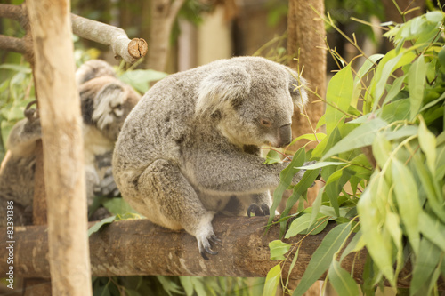 Staande foto Koala koala eating eucalyptus leaves