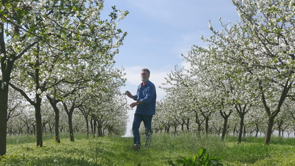 Agronomist or farmer examine blooming cherry trees in orchard