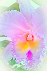 Pink cattleya orchid and green leaves