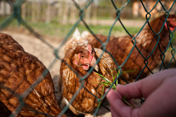 Red hens in a farmyard being fed with grass from the hand