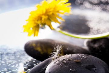 seme e fiore di tarassaco