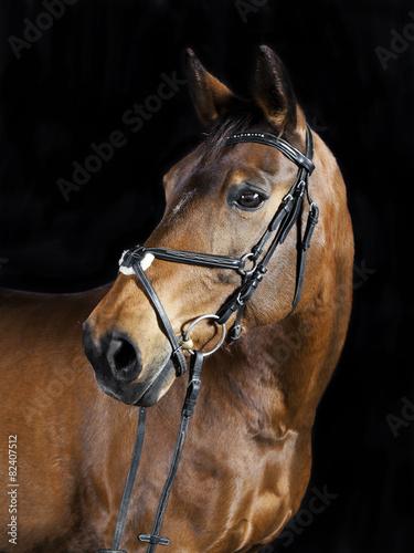Keuken foto achterwand Paarden Oldenburger Portrait