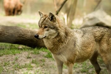 wolf - captive animal