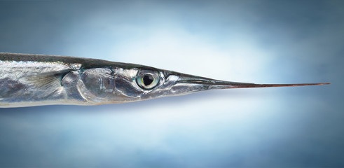 Flat Needlefish