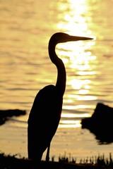 Great White Heron on sunset, Sarasota