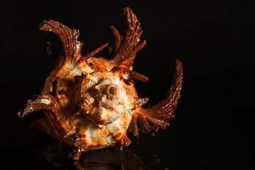 Sea spiral snail shell on black background