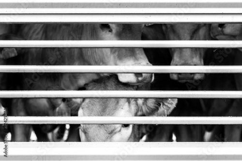 Aluminium Koe pleading eyes of cows behind fence