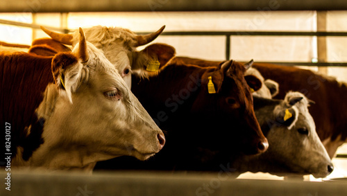 Foto op Canvas Koe pleading eyes of cows behind fence