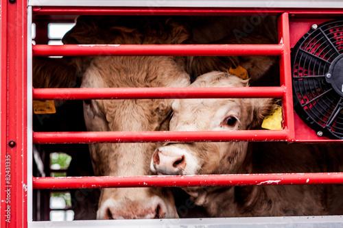 Fotobehang Koe pleading eyes of cows behind fence