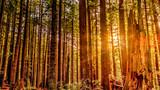 Redwood Sun - 82442366