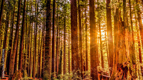 Foto op Canvas Landschappen Redwood Sun