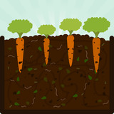 Planting carrots and compost