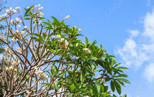 Plumeria tree white flowers