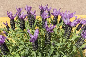 Closeup view lavender flowers