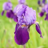 Purple Flower Iris