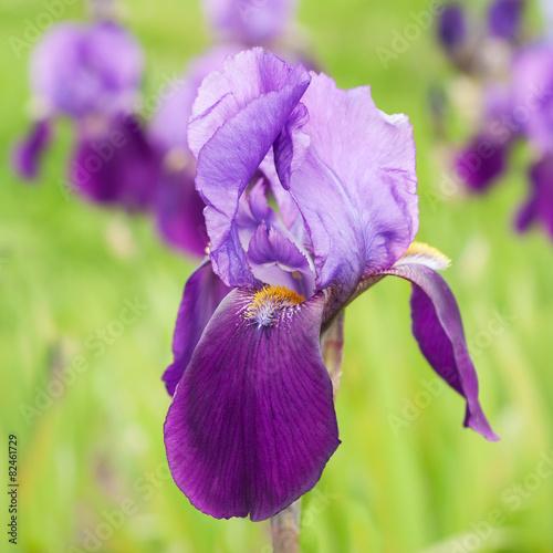 Foto op Canvas Iris Purple Flower Iris