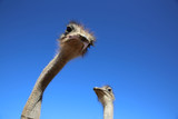 Ostriches in Oudtshoorn. South Africa
