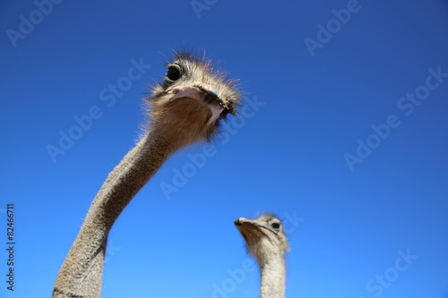 Fotobehang Struisvogel Ostriches in Oudtshoorn. South Africa