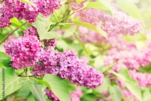 Foto op Canvas Lilac purple lilac branch