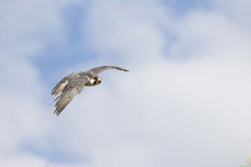 Falcon flying in a blue sky