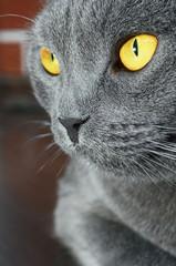 British shorthair cat detail (British Blue cat)