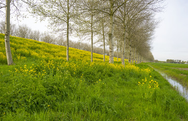Yellow flowers on a dike in spring