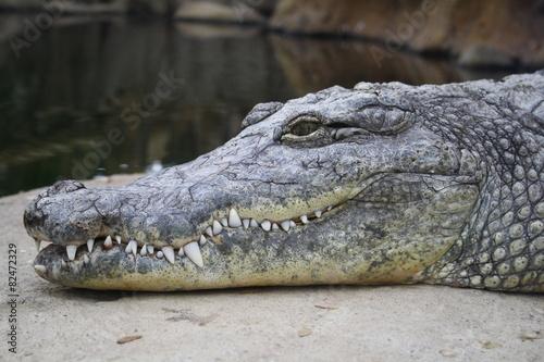 Spoed canvasdoek 2cm dik Krokodil Krokodil