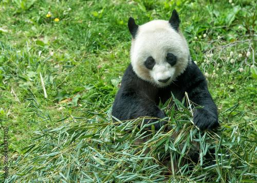 Foto op Canvas Panda giant panda while eating bamboo