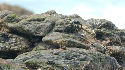 crabs eating on stone seashore